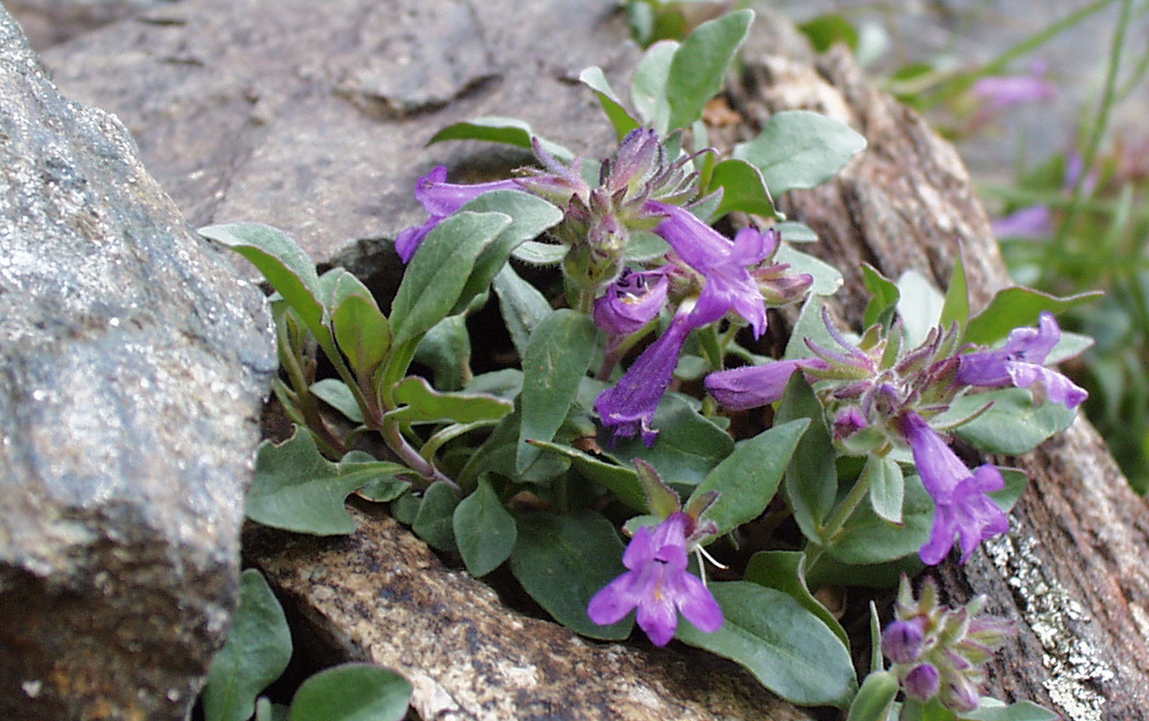 Penstemon harbourii, Courtesy Bob and Rebecca Skowron