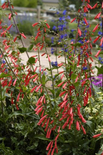 Penstemon etonii, courtesy of Barbara Lewis