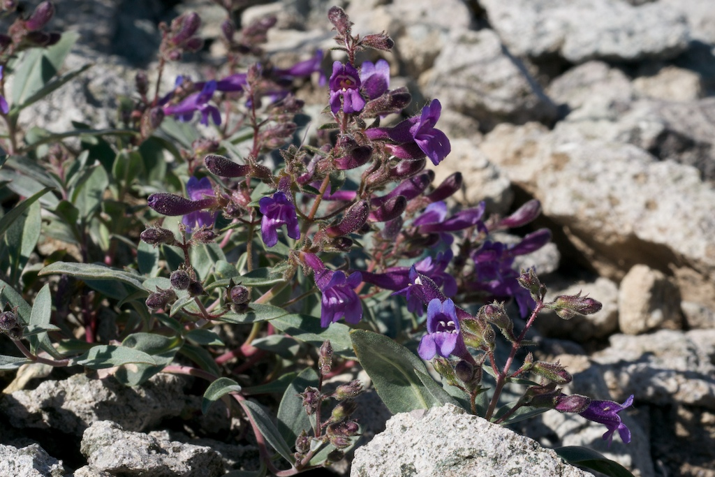Penstemon tiehmii