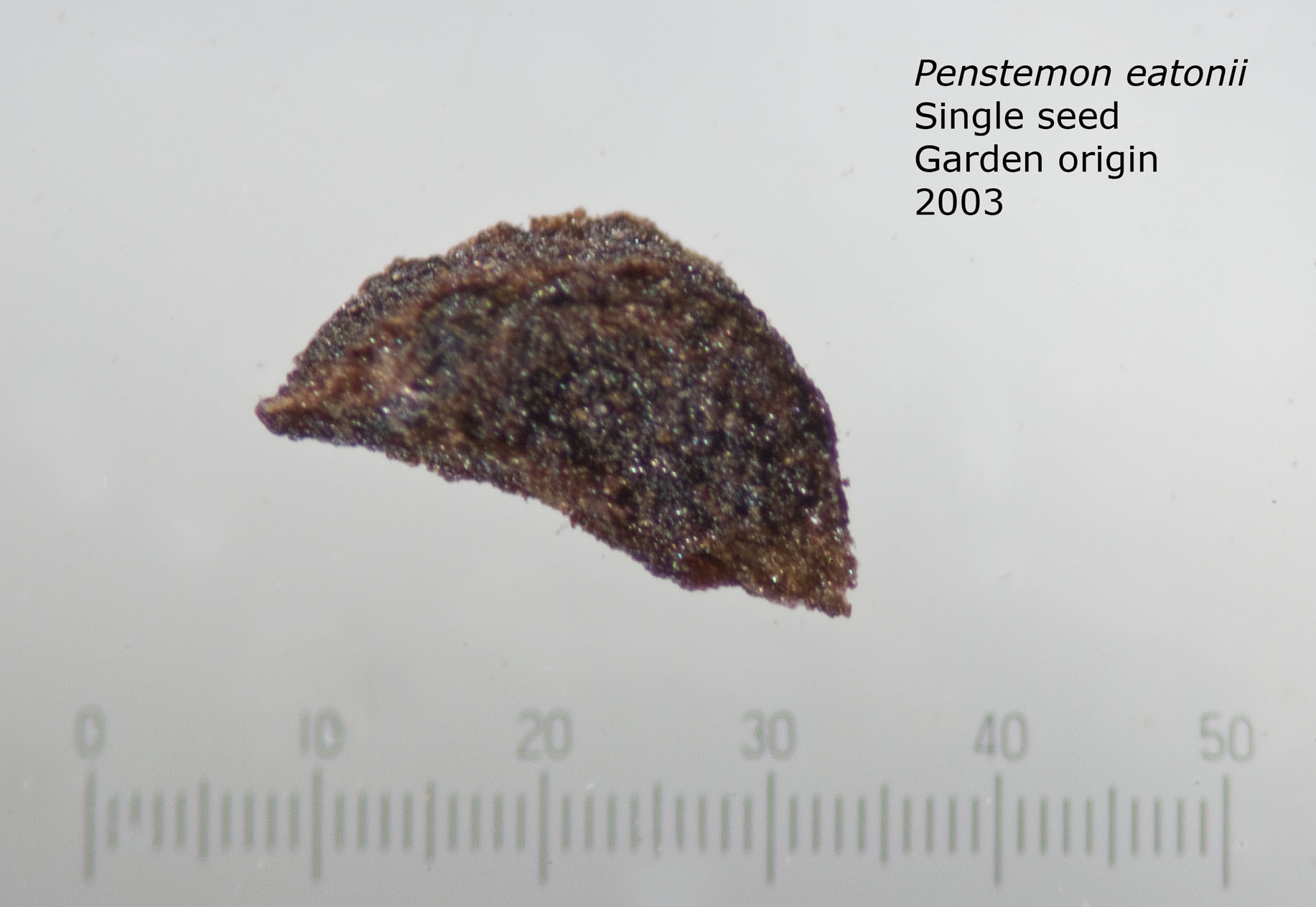 Penstemon eatonii single seed