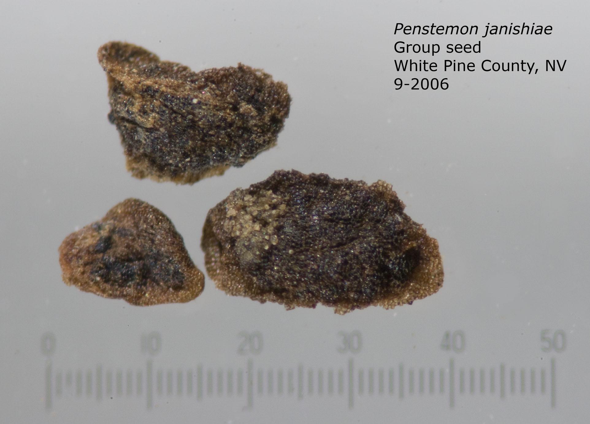 Penstemon janishiae group of seeds