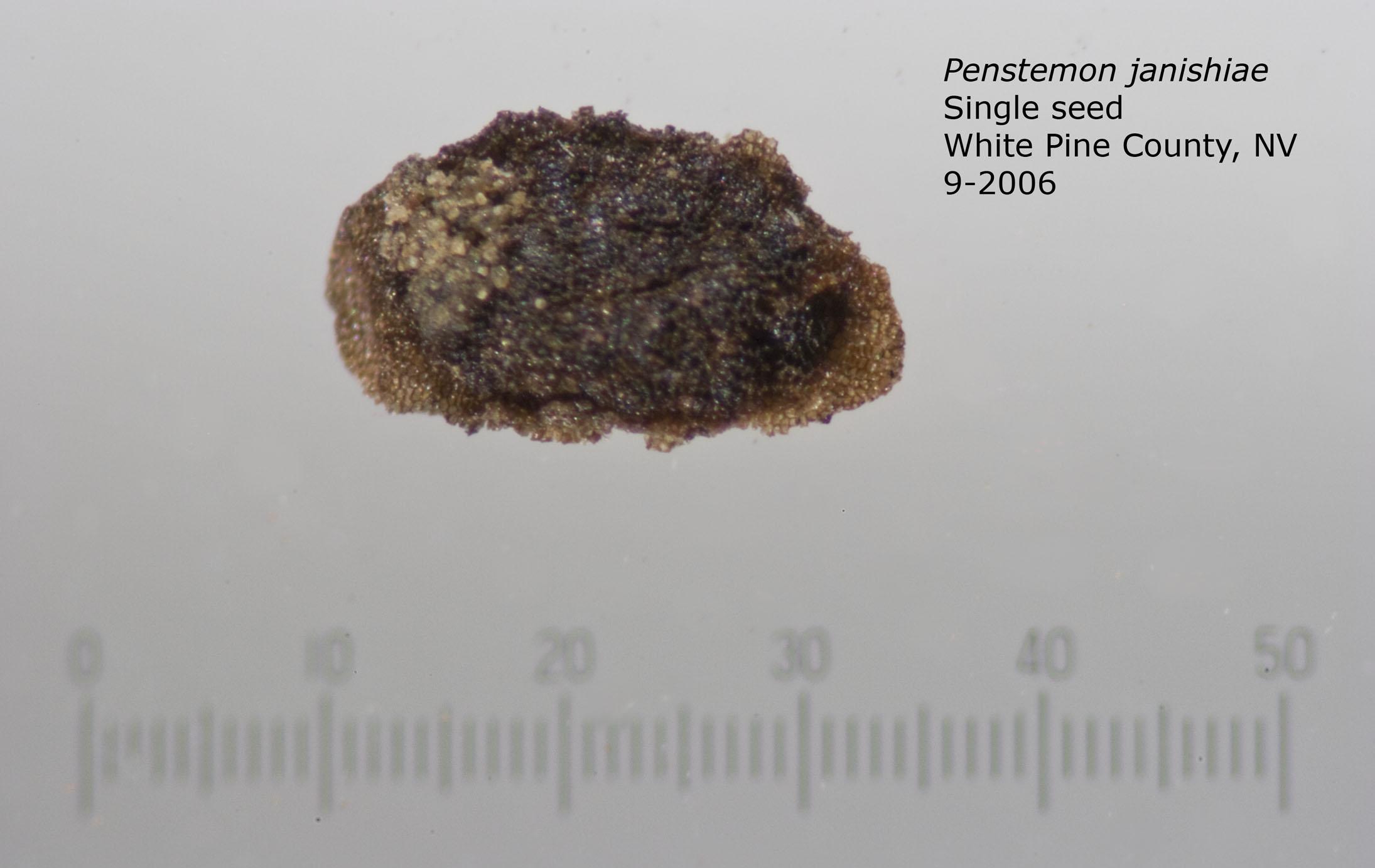 Penstemon janishiae single seed