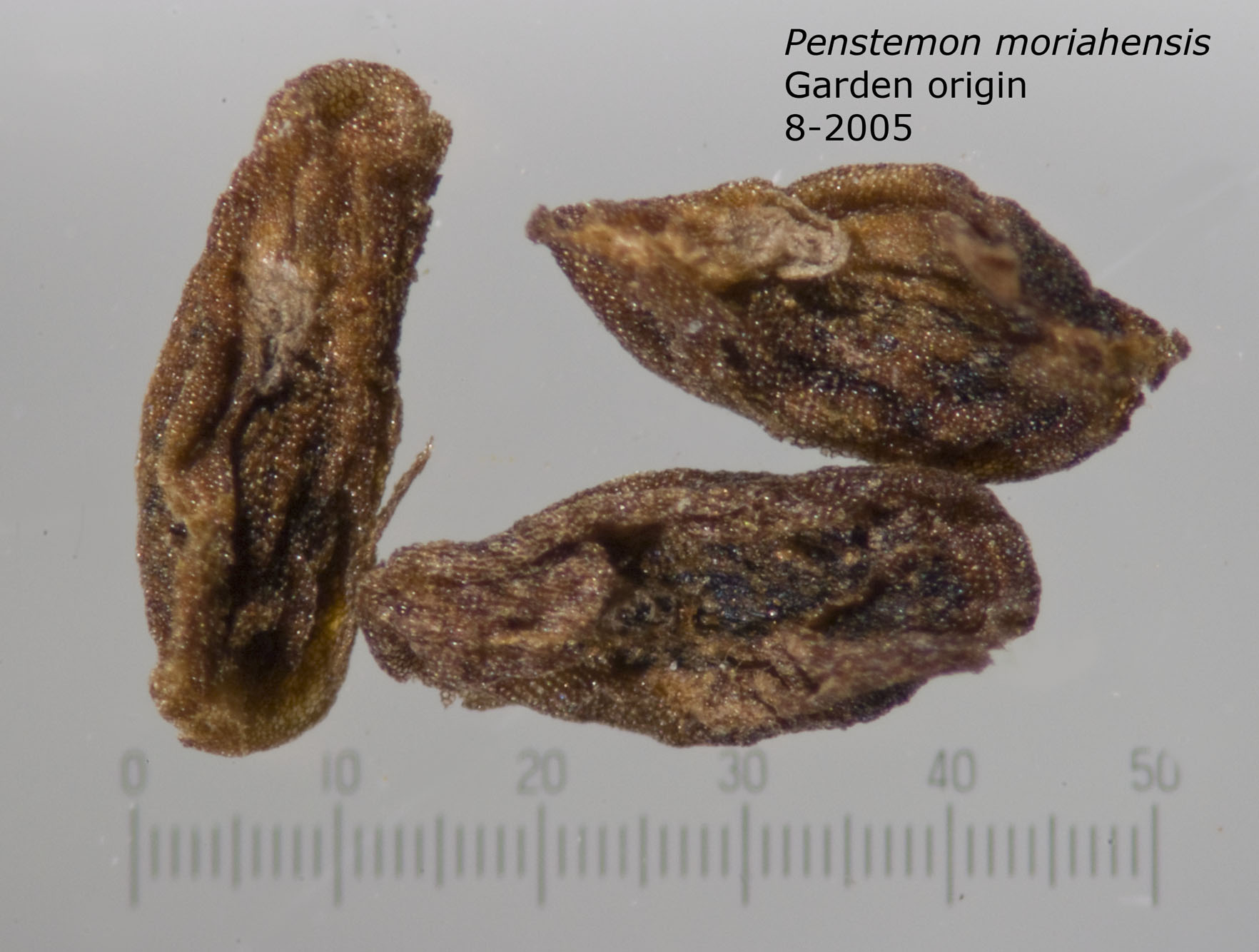 Penstemon moriahensis group of seeds