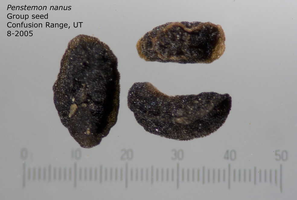 Penstemon nanus group of seed