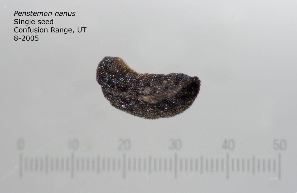 Penstemon nanus single seed, Confusion Range