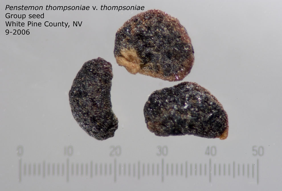 Penstemon thompsoniae v thompsoniae group of seeds, White Pine County, NV